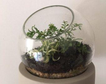 Bonsai ficus terrarium