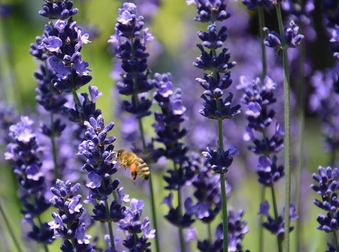La molesta hinchazón abdominal, uno de los malestares más comunes. Redúcelo con las mejores hierbas para la hinchazón. ¡Todo económico y natural!