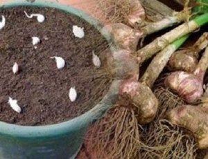 Não compre alho nunca mais - plante facilmente alho na sua casa com esta dica! - Ideal Receitas