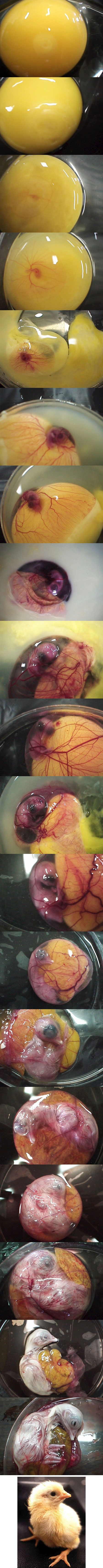 birth of a chicken egg formation