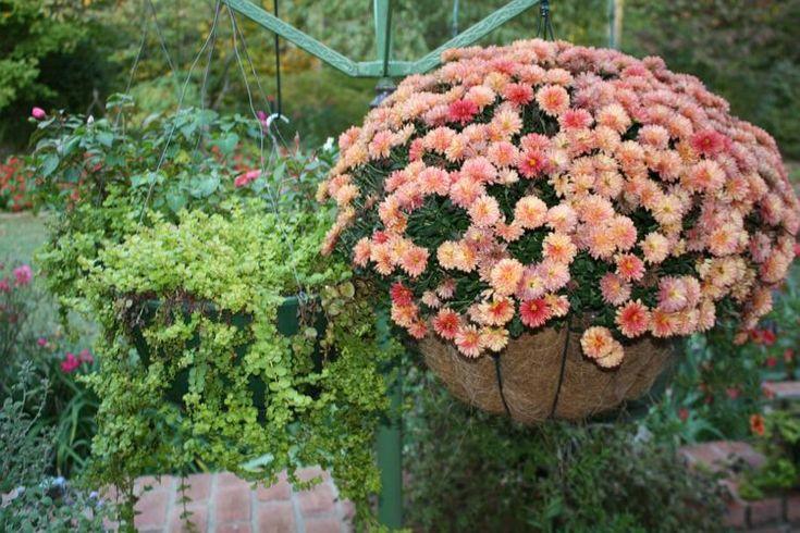 Plante pentru ghiveci suspendat – crizantemele