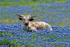 texas bluebonnets and baby longhorn.  Google Image Result for http://www.texasbluebonnetsightings.com/wp-content/uploads/2013/03/duanebaker-babylonghorn-ennis.jpg