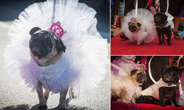 Pugs Jasmine and Jasper marry in beach side wedding