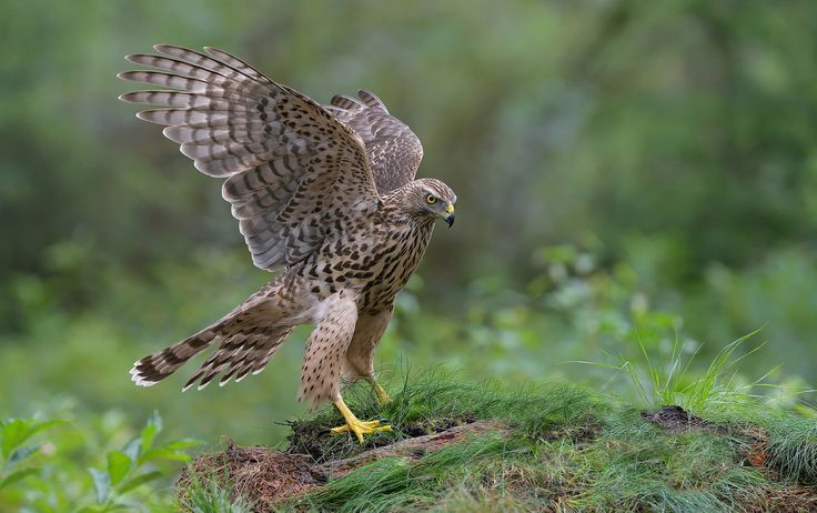 """Gorgeous Young Lady - Because she made such a nice performance, I just have to show you one more image of this lovely young female Northern Goshawk.  ©<a href=""""http://www.hewaph.com"""">Harry Eggens</a>  Best wishes and a wonderful weekend,  Harry"""