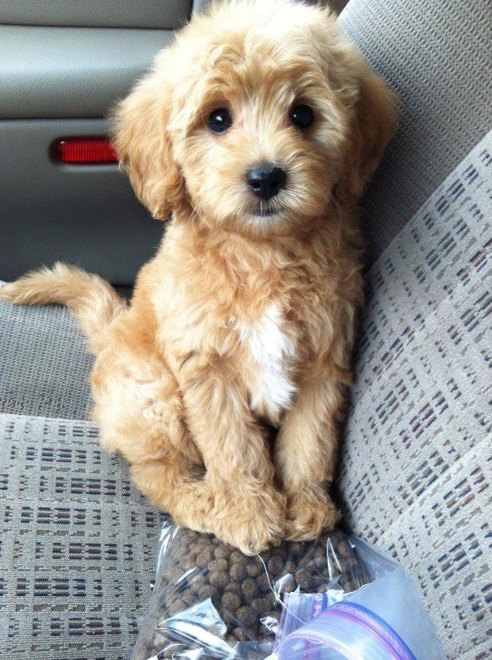 miniature golden-doodle! I want one!