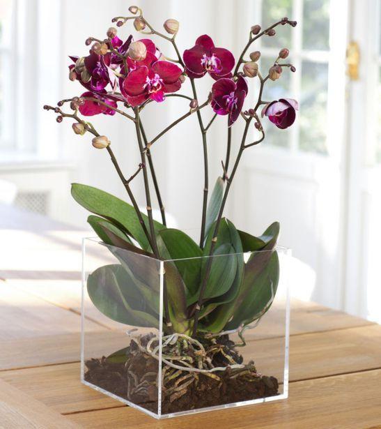 adelaparvu.com despre orhidea Phalenopsis Foto Floradania (4)