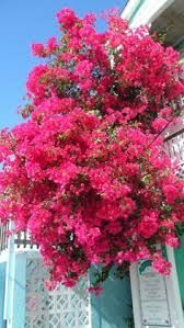 bougainvillea peaking over fence