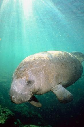 Manatees off Longboat Key. Be sure to rent a powerboat and check out the adorable manatees living by the mangroves. Drive slowly please! And don't forget to visit the Mote Marine to have hands on experiences with the sea life!