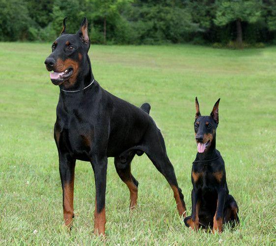 Dobereich Home, Doberman Pinscher Breeder, Pug Breeder