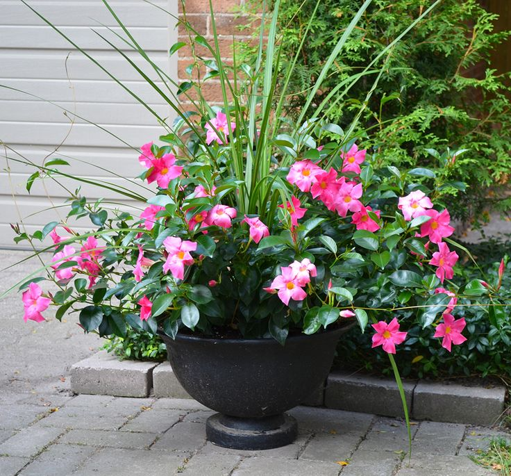 Pink Garden Planters: Pink Rio Dipladenia Container Garden, Dracaena Spike