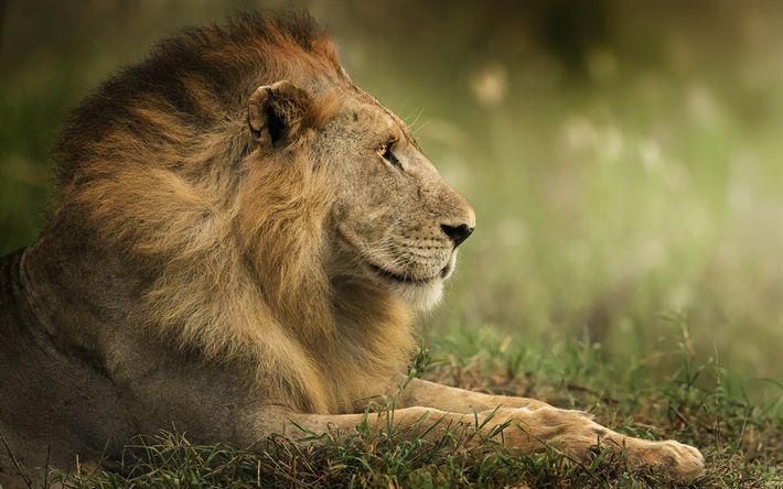 Download wallpapers lion, king of beasts, wildlife, predators