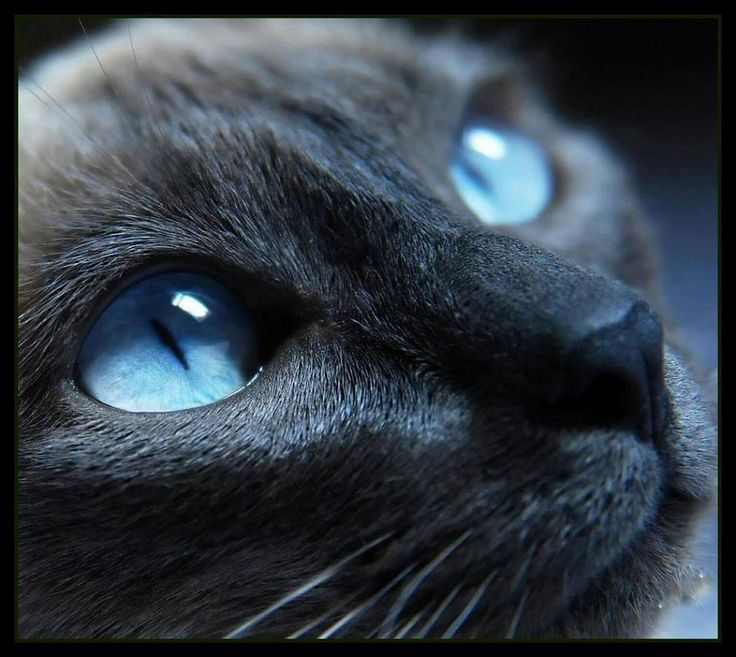Siamese cat face closeup