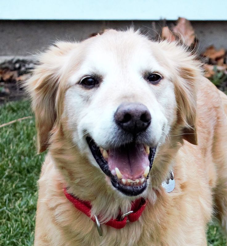 This is Buddy Boy - 10 yrs. He was an owner surrender due to a move. He is neutered, current on vaccinations, potty trained, good with kids over age 10 yrs. He needs a slow, intro to other dogs. Golden Retriever Rescue Resource, OH. - http://www.gr-rescue.org/golden_retrievers_for_adoption_9.html