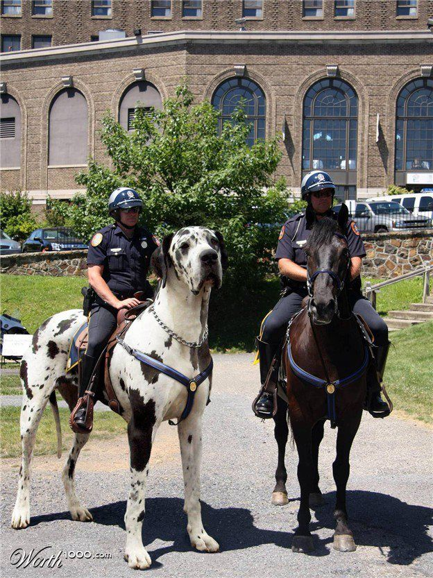 police riding large black white spotted great dane tallest dog like horse pony, worth 1000 com, next to a horse, that's one BIG dog