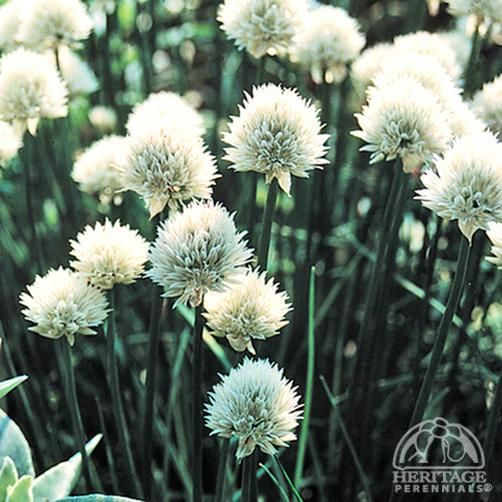 "Alium schoenoprasum ""album"" white flowered chives, Chives are a favorite herb, enjoyed both for their oniony flavor as well as the showy ball-shaped flowers. This rare selection is a very old heritage variety that came originally from Newfoundland...."