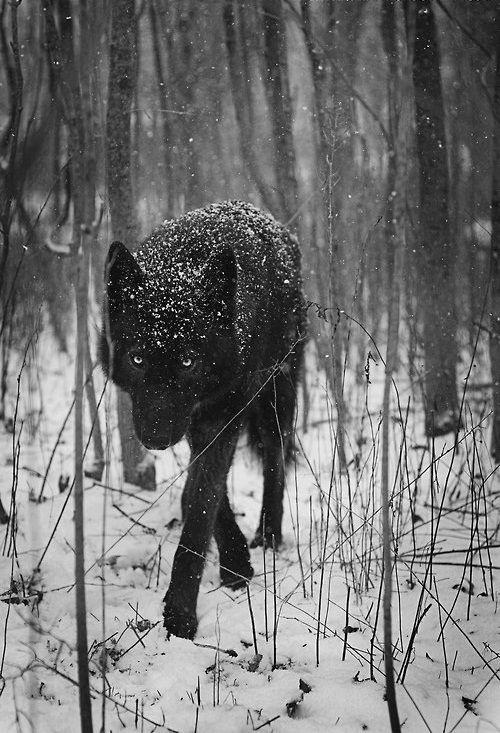ein Schwarzwolf - Vorsicht ist angesagt ;)