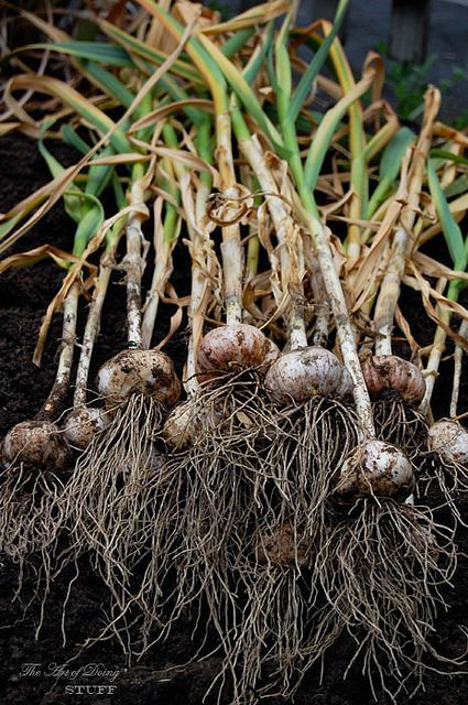 "How and When to dig up Garlic!- ""Garlic starts to die and dry up from the bottom up. For every clove of garlic in the head, there's a corresponding leaf. 6 leaves, 6 cloves. You get the picture. When half of the garlic leaves are dried up the garlic is ready to be pulled."""