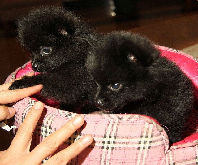 black pomeranian puppies for sale | Cute Puppies