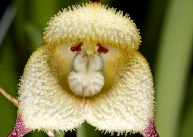 Orchid-Mimicry: Dracula saulii from Colombia