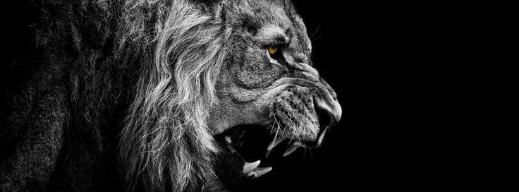 Image for Photo de couverture FB lion rugissant HD