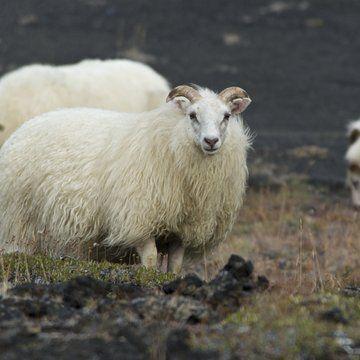 Hospodářství Island má nedostatek surovin, využívá však své alternativní přírodní zdroje. K prosperitě Islandu přispívá i turistická přitažlivost islandské přírody. Klíčovým odvětím je rybolov. ryby a rybí produkty tvoří 75% celkového exportu. V současné době se v zemi rozbíhá projekt a zkoušení provozu automobilů na vodík. Chovají se zde skot a ovce.Většina energie se získává z vody.