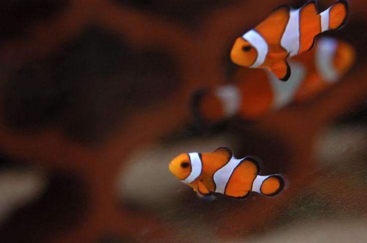 Il pesce pagliaccio, da tutti conosciuto come Nemo! #pesce #acquario #white #orange #stripes #clown #fish #fishtank
