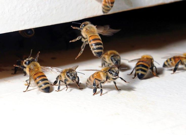 #Fact 114: Did you know, Queen bees can lay up to 2,000 eggs in one day? That's one egg every 43 seconds. Impressive!