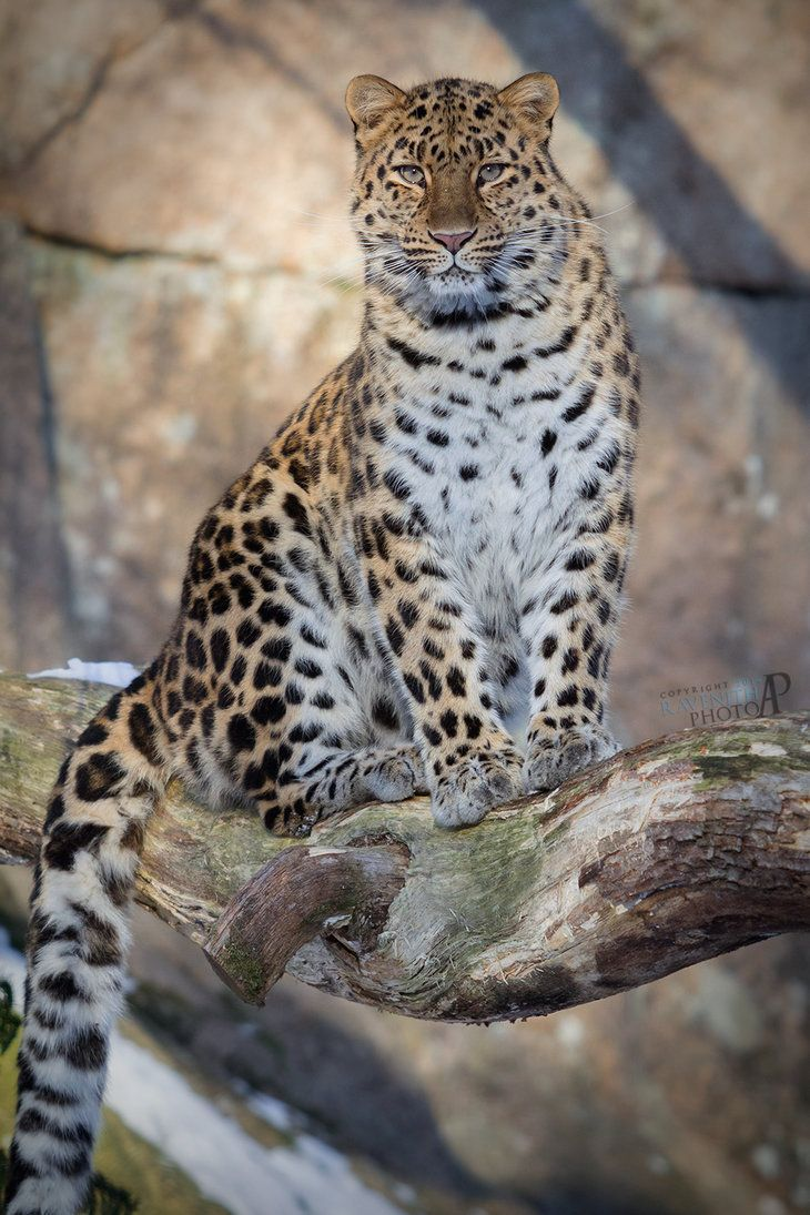Amur leopard portrait. by Ravenith on DeviantArt