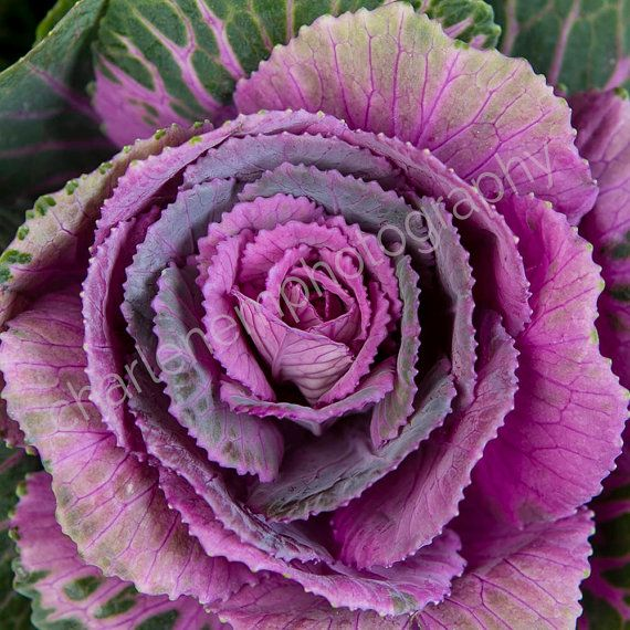 Cabbage/ Instagram / florist / purple / by charlenemphotography