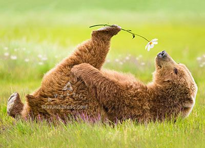 Outside Image:  Grizzly bear holding a daisy to its nose  Inside Message:  Love you from my toes to my nose!  Happy Birthday