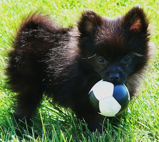 Saw a fluffy ball of fur like this today, and need to find one :)  Looks like my moms dog too cute