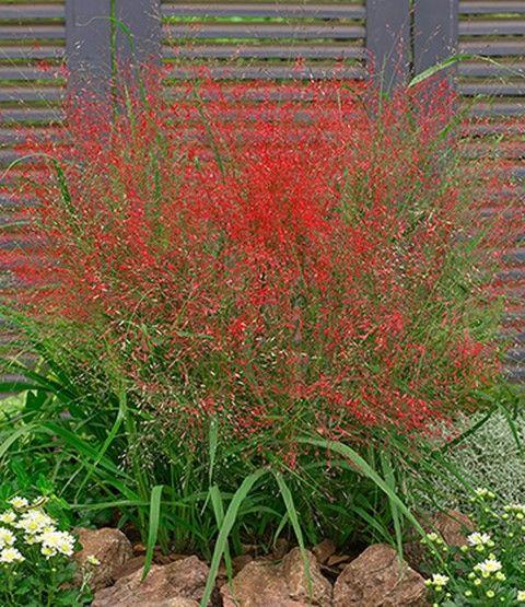 Rotes Liebesgras