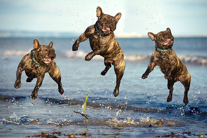 Ralph the French bulldog plays on Lancing beachPhotograph: Rhian White