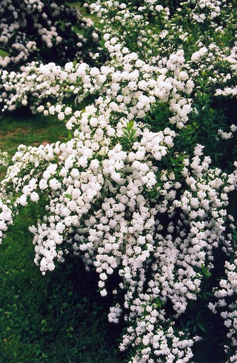 Snowmound Spirea shrub (white flowers on arching branches in spring, attracts butterflies)