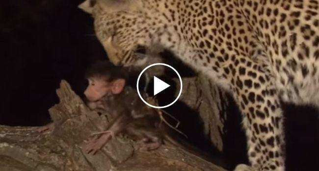 Leopardo Mata Babuíno Mas Adota a Sua Cria!!!