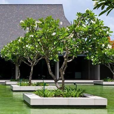 frangipani tree planter - Google Search