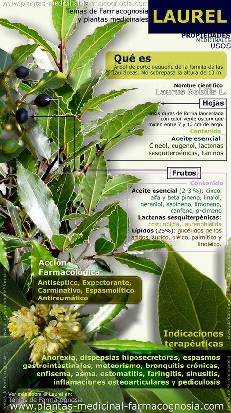 Propiedades y beneficios del Laurel. Infografía. Resumen de las características generales de la planta del Laurel. Propiedades, beneficios y usos medicinales más comunes del Laurel.