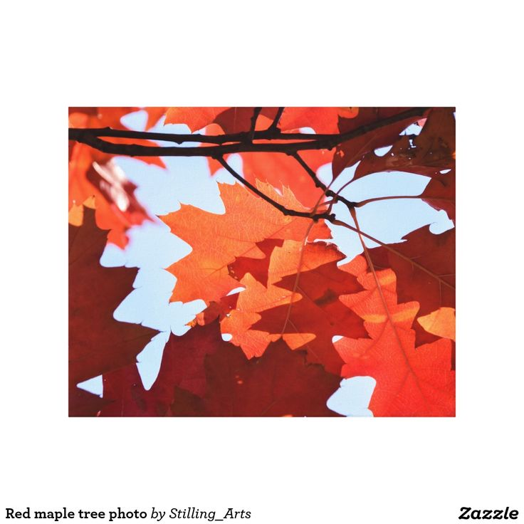 Red maple tree photo stretched canvas print