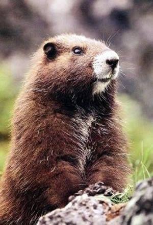Marmotte de Vancouver