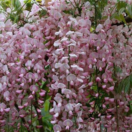 20 best flowersvinesshrubs images on pinterest nuthatches pink wisteria vine wisteria vines flowering vines mightylinksfo