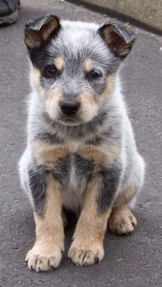 Cute Best Australian Cattle Dog