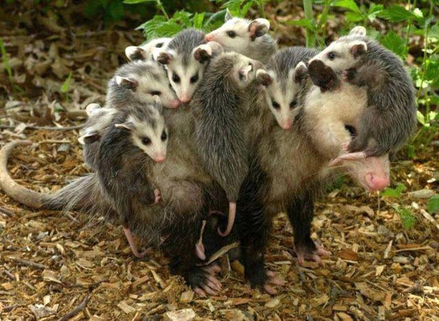 Não é ratão. É o gambá. Um marsupial, como os cangurus!