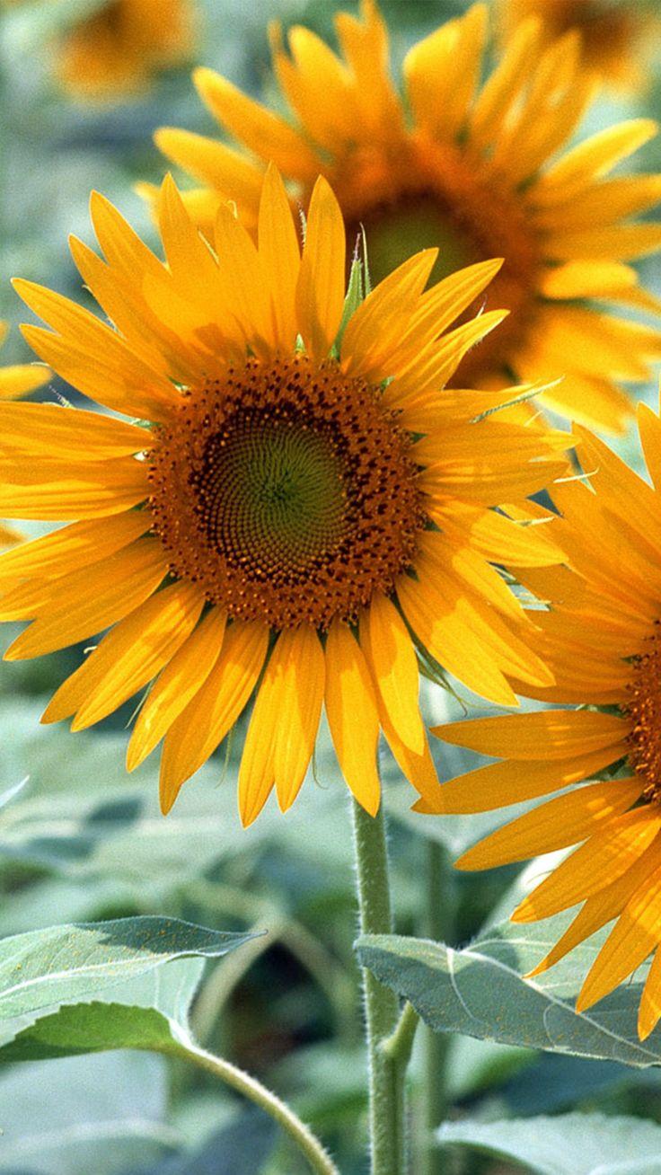 The 25+ best Sunflower iphone wallpaper ideas on Pinterest ...