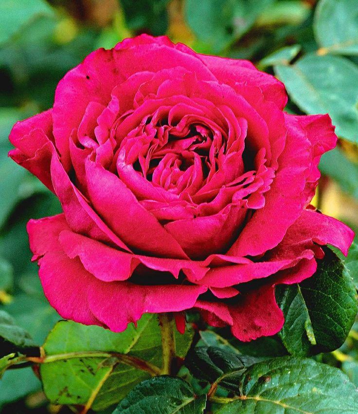 Amazing Parfum Rose uRose des vents u Pflanze g nstig online kaufen
