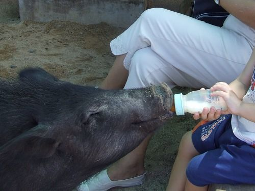 Feeding the pig at Casela Nature & Leisure Park
