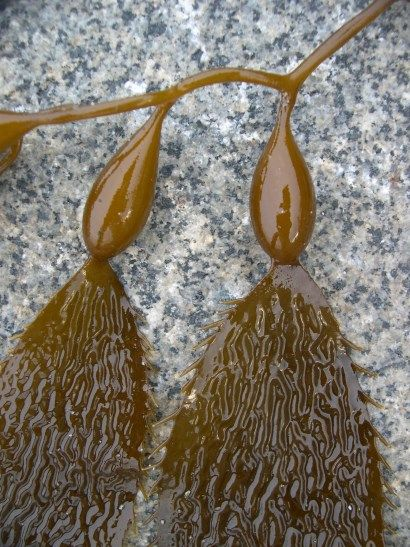 Macrocystis Kelp  Great fried with coconut oil, honey, and sesame seeds.