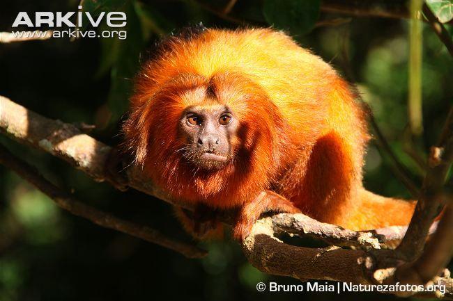 Golden lion tamarin -endangered