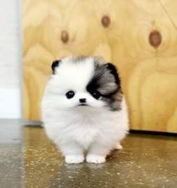 Husky Pomeranian mix AHHHHH! So cute!!                                                                                                                                                                                 More
