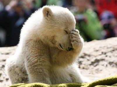 Urso polar brincando de esconde esconde haha (Polar bear playing hide hide)