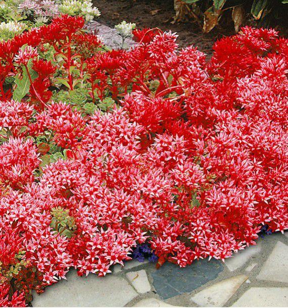 SEDUM COCCINEUM, plante en ligne Vivaces couvre sol